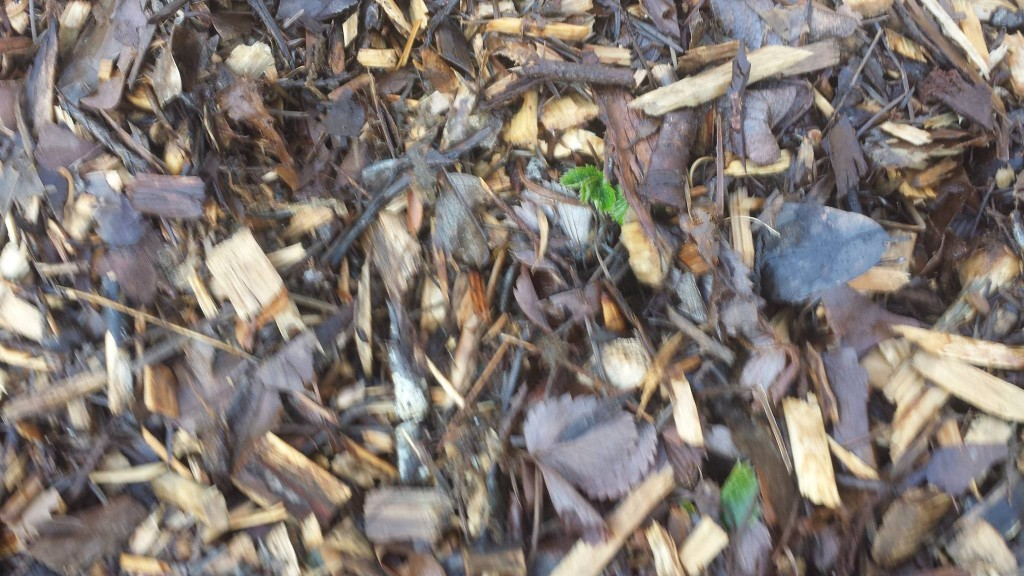Close up of strawberry plants peaking through wood chips.